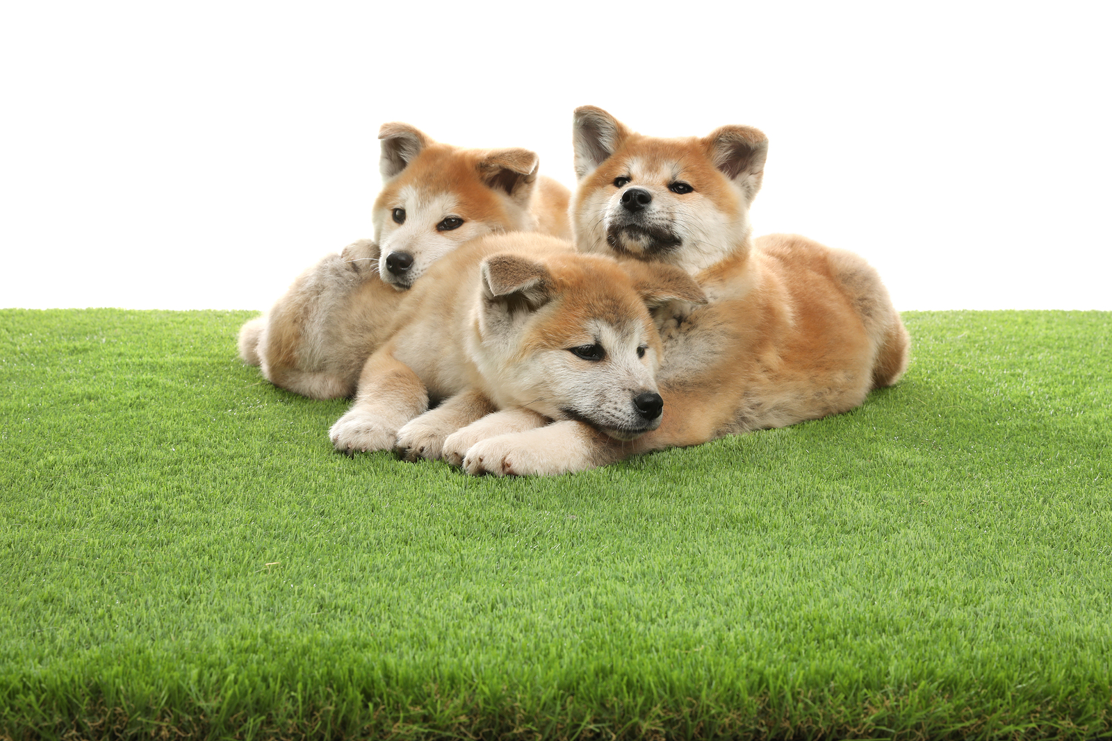 Cute akita inu puppies on artificial grass against white background