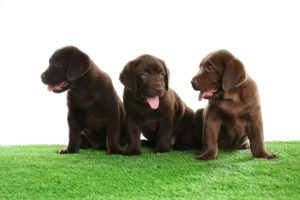 3 cute brown puppies sitting on artificial grass