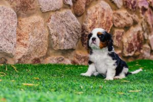 puppy in the artificial grass
